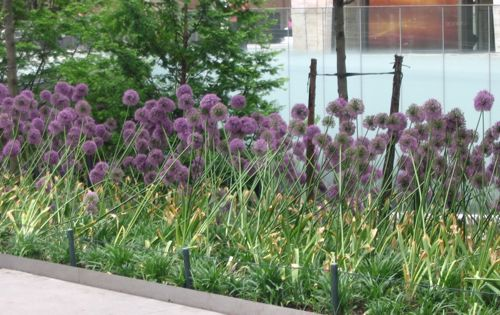 Lincoln Centre Allium.