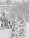 Snowtrees1